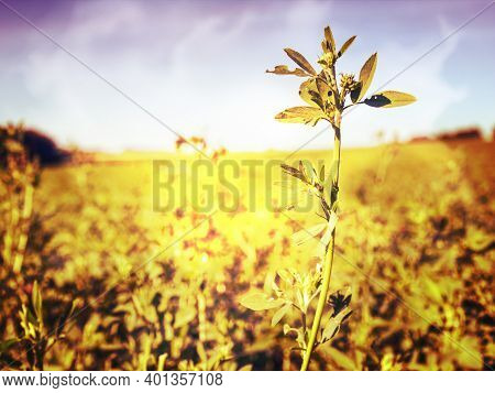 Summer Field Of Blooming Alfalfa, Which Is A Valuable Animal Feed.   Abstract Filter.