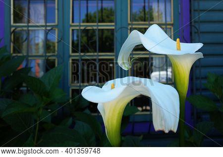 White calla lilies flowers are blooming in front of blue house window. No filters, real colors