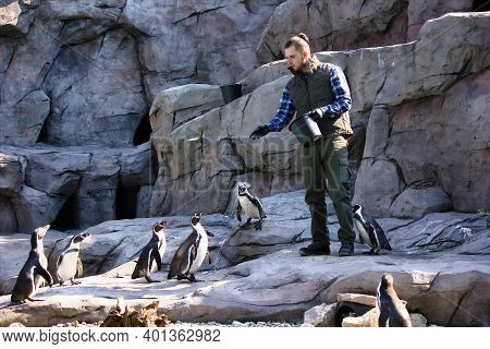 Krakow, Poland - April 02, 2017: A Man Working On A Krakow Zoo Feeding The Humboldt Penguin (sphenis