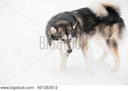 Young Alaskan Malamute Standing In Snow. Dog Winter.