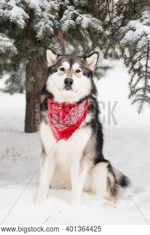 Alaskan Malamute Sitting In Red Scarf. Dog Winter Forest