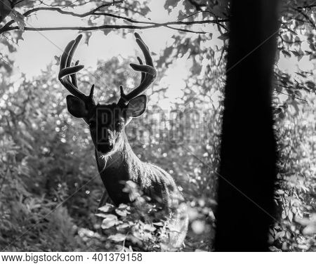 Black And White Portrait Of A White-tailed Buck (odocoileus Virginianus) With Velvet Antlers In The