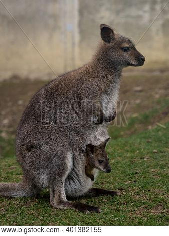 Side Portrait Of Female Red-necked Wallaby Bennetts Macropus Rufogriseus With Baby Joey In Pouch In