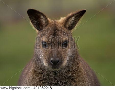 Closeup Headshot Portrait Of Female Red-necked Wallaby Macropus Rufogriseus In Bleichnau Baden-wuert