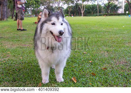 Lovely Alaskan Malamute Dog Standing On Green Grass