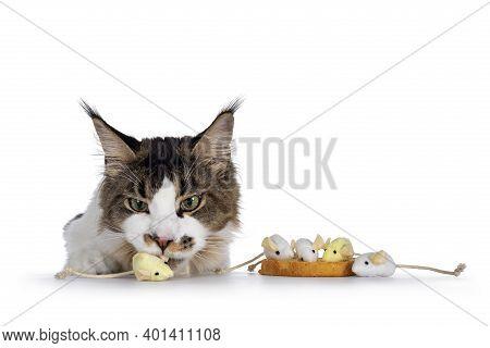 Naughty Maine Coon Cat Stealing Toy Mice Of Edge, Referring To The Dutch Habit: Beschuit Met Muisjes