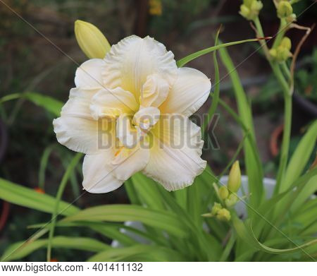 Schnickel Fritz.luxury Flower Daylily In The Garden Close-up. The Daylily Is A Flowering Plant In Th