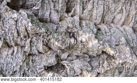 Texture Of The Bark Amur Cork Tree, Amur Velvet. Phellodendron Amurense Good In Spring. Rough Folds,