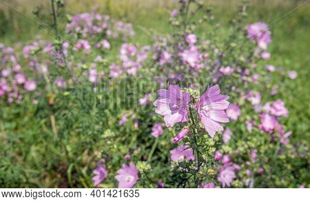 Pale Pink Flowering Common Mallow Growing In A Dutch Nature Reserve In North Brabant. The Photo Was