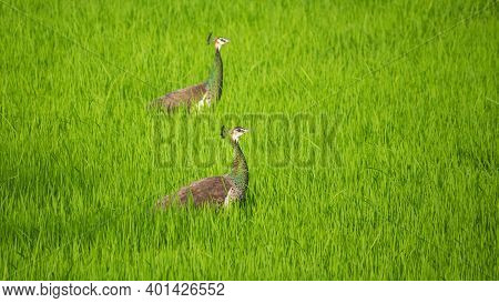 Pair Of Wild Peahens Neck High Above The Paddy Field, Looking For A Male Peacock Evening.