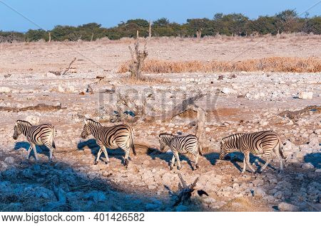 Burchells Zebras, Equus Quagga Burchellii, Walking At Sunrise In Northern Namibia