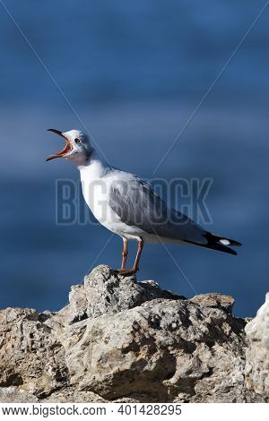 Hartlaub's Gull Or King Gull, Larus Hartlaubii, Adult Standing On Rock, Calling Out, Hermanus In Sou