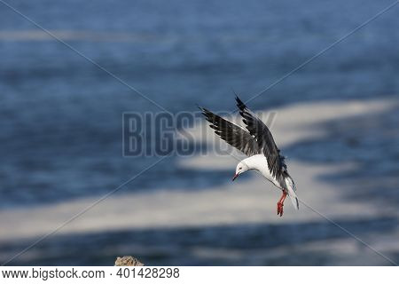 Hartlaub's Gull Or King Gull, Larus Hartlaubii, Adult In Flight, Hermanus In South Africa