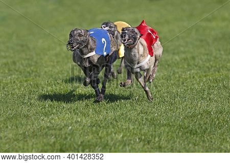Whippet Dogs Running, Racing At Track Whippet Dogs Running, Racing At Track