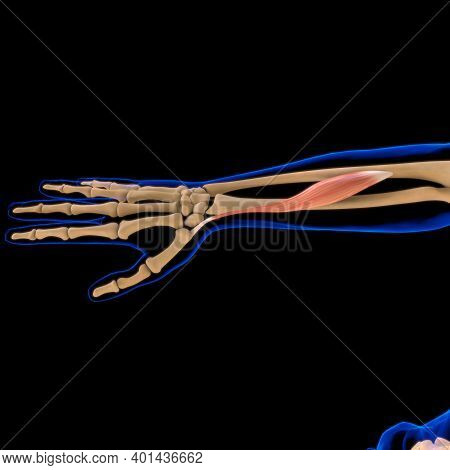 Abductor Pollicis Longus Muscle Anatomy For Medical Concept 3D Illustration