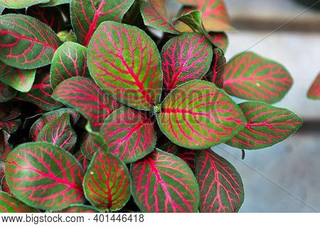 Bright Green And Pink Leaves On A Nerve Plant.