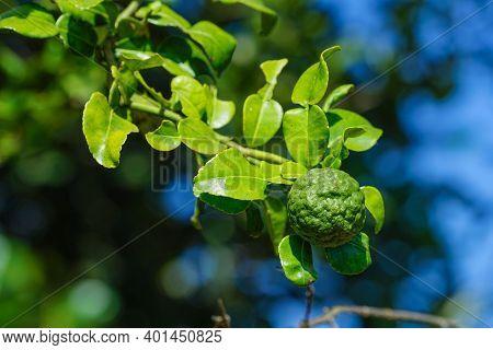 Green Bergamot Or Kaffir Lime On Tree. Kaffir Lime Also Call Citru Hustrix In The Garden.