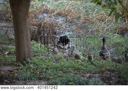 One Domestic Duck Foraging Along A Marshy Lake Shore While Another Stands Guard, Watching Cautiously