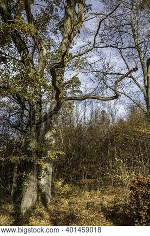 Big Old Oak Tree In The Middle Of The Forest