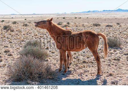 A Wild Horse Of The Namib Neighing. Photo Taken At Garub