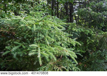Pine Tree In Forest. Close Up Of A Pine Tree Bough And Branches In A Northern Boreal Forest.