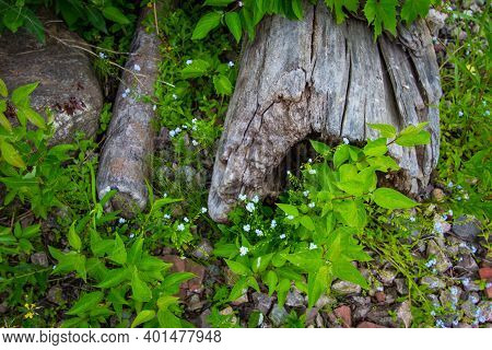 Fallen Log Surrounded By Wild Forget Me Not Flowers In A Northern Boreal Forest.