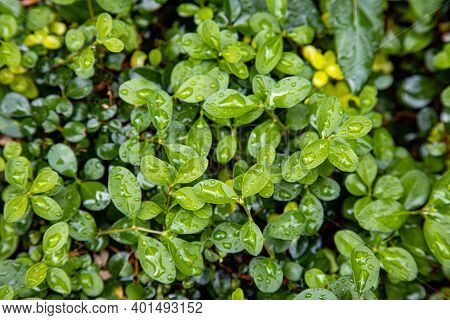 Wet Green Leaves In Subtropics After It Stopped Raining. Rainy Season Concept
