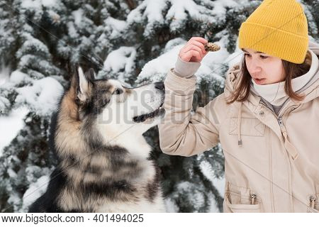 Woman Play With Alaskan Malamute With Cone In Winter Forest. Close Up.