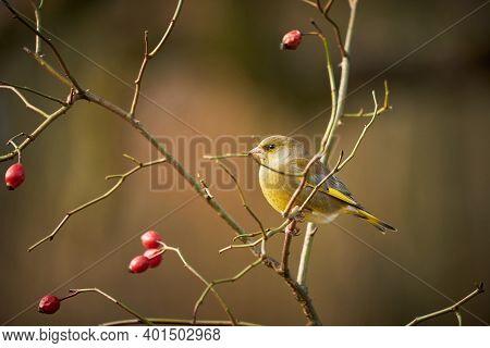 Song Bird European Greenfinch
