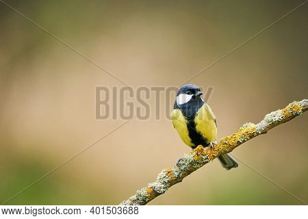 Great Tit, Parus Major, Black And Yellow Songbird