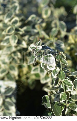 Wintercreeper Dans Delight - Latin Name - Euonymus Fortunei Dans Delight