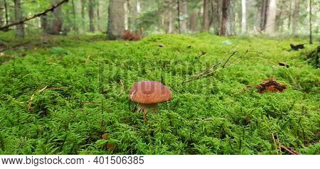 Beautiful Mushroom-boletus In Green Moss. The Old Magic Forest. White Mushroom On A Sunny Day.