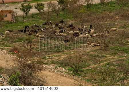 Sheep And Goats Grazing At The Foot Of The Mountain Of Temptations Of Jesus In Jericho, Israel, Pale