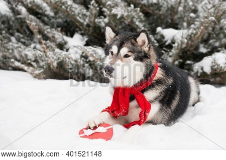 Young Alaskan Malamute In Red Scarf With Heart Gift Box. Valentine Day. Dog