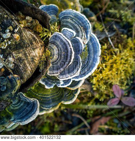 A Beautiful Turkey Tail Mushroom Growing On An Old Tree Stump. Trametes Versicolor In Spring. Natura