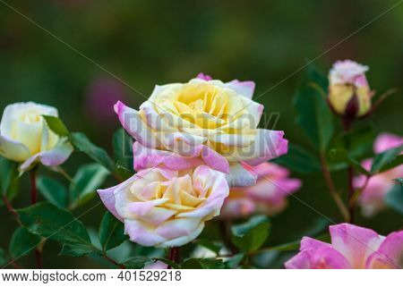 Garden Roses In Bloom Closeup. Yellow-pink Music Box (rosa Baibox) Breed By Ping Lim, 2012
