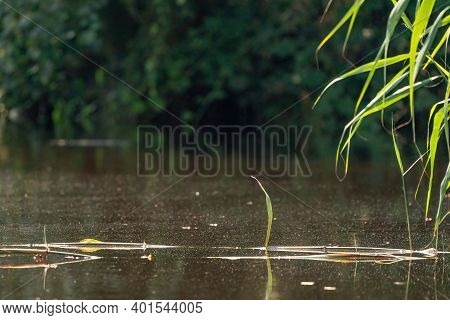 Grass Stems Emerge From Water Above The Water Surface. Stems Of Plants Float On The Water. Close-up