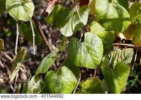 Simple Green Cordate Leaves Of Southern California Grape, Vitis Girdiana, Vitaceae, Native Monoeciou