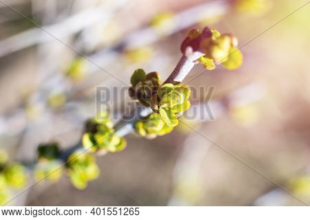 Young Growing Thin Twig Of Sea Buckthorn In Farm Garden In Bright Sunlight. Sunlit Twig With Little