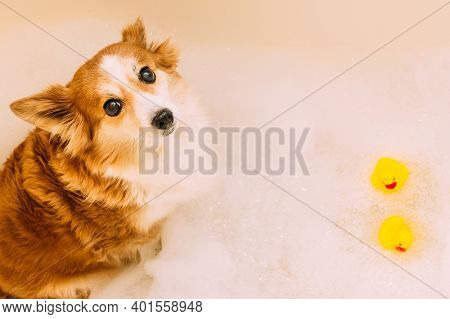 Portrait Of A Dog In A Bathtub With Bathing Foam. Rubber Ducks In The Water