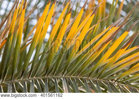 Branch Of Leaves On A Palm Tree, Closeup