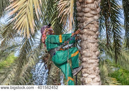 Abu Dhabi, Uae - July 25, 2020: Worker Climbing The Date Palm Tree To Collect The Dates