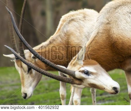Beautiful Scimitar-horned Oryx Antelopes Fighting Using Their Long Horns. They Are Orange And White