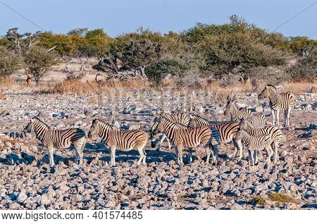 Burchells Zebras, Equus Quagga Burchellii, Between Rocks In Northern Namibia