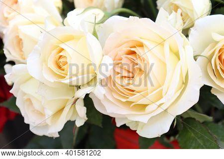 Beautiful Natural White Rose Flower Stock Photo