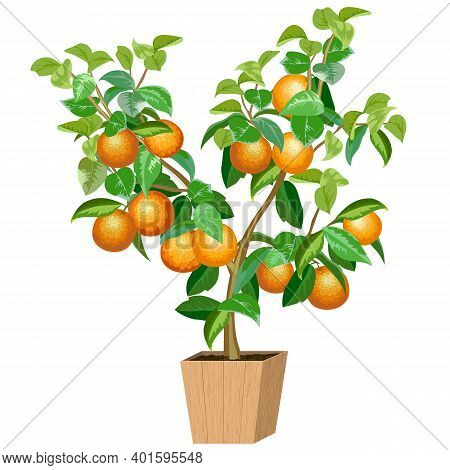 Illustration With An Orange Tree In A Pot.tree With Ripe Oranges In Color Vector Illustration.