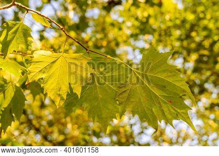 Detail Of Platanus Hispanica Leafs With Blurred Background