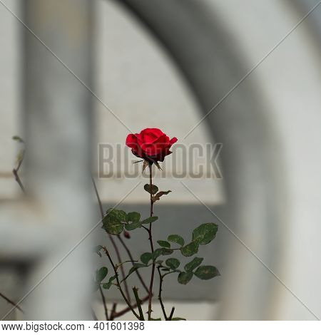 Beautiful Rose, Located In The Front Of A Private Garden From An Old Building In Prague 6, Close To