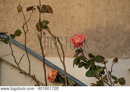 Beautiful Rose, Located In The Front Of Private Garden From An Old Building In Prague 6, Close To Hr