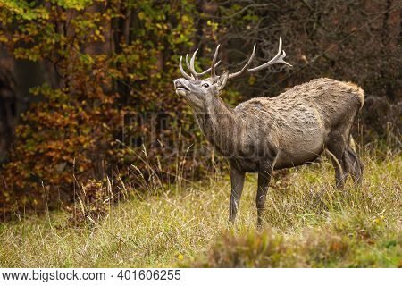 Red Deer Sniffing On Dry Grassland In Autumn Nature